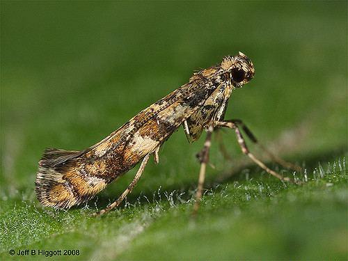 Gracillariidae Gracillariidae Caloptilia syringella Family Gracillariid Flickr