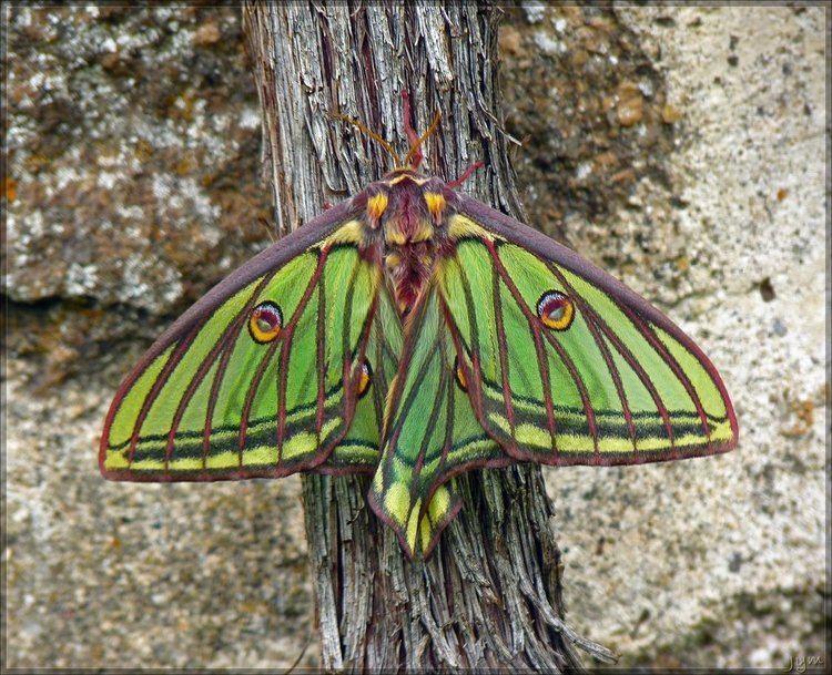 Graellsia isabellae Graellsia isabellae female by JYM on DeviantArt