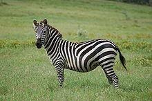 Grant's zebra httpsuploadwikimediaorgwikipediacommonsthu