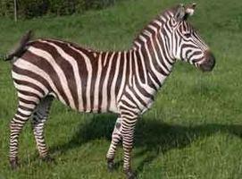 Grant's zebra Zebra
