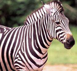 Grant's zebra Grant39s Zebra Lake Tobias