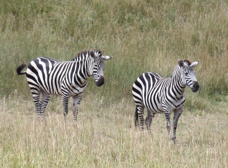 Grant's zebra FileGrants Zebra 001jpg Wikimedia Commons