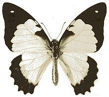 Graphium endochus httpsuploadwikimediaorgwikipediacommonsthu