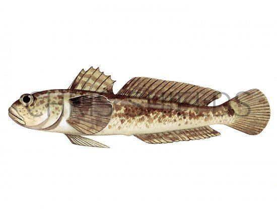 Grass goby F112 Grass Goby Zosterisessor ophiocephalus Illustration Fish