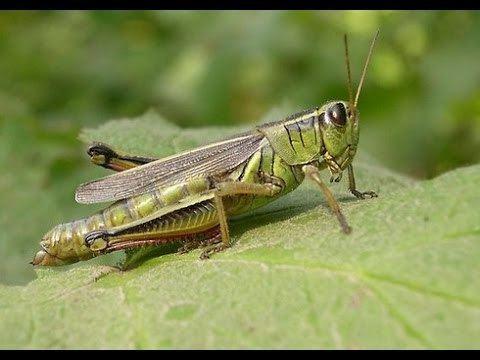 Grasshopper Survival Food Grasshopper YouTube