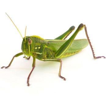 Grasshopper Grasshopper Amgrow