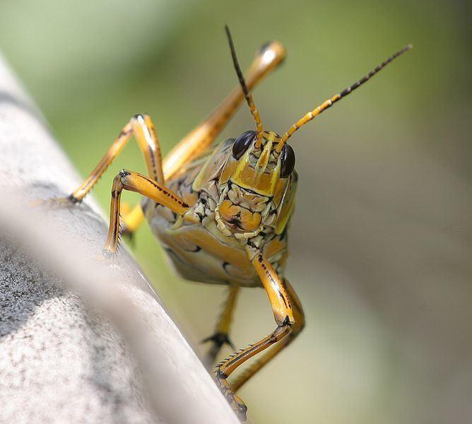Grasshopper Grasshopper Caelifera Animals AZ Animals
