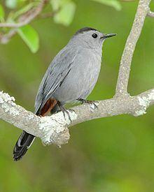 Gray catbird httpsuploadwikimediaorgwikipediacommonsthu
