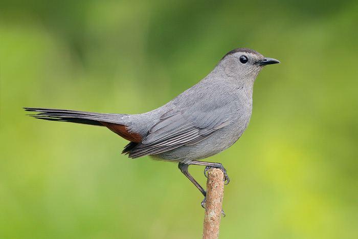 Gray catbird catbird