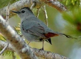 Gray catbird Gray Catbird Identification All About Birds Cornell Lab of