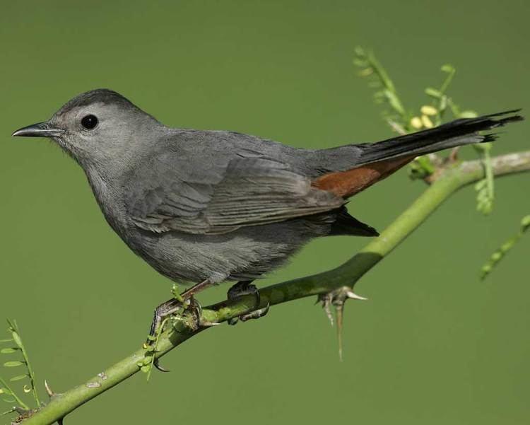 Gray catbird Gray Catbird Audubon Field Guide