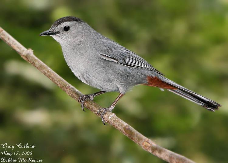 Gray catbird The Gray Catbird Says Meow FSU ornithology