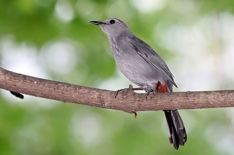 Gray catbird Gray Catbird quotDumetella carolinensisquot Boreal Songbird Initiative