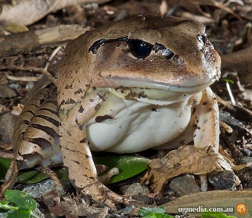 Great barred frog Great barred frog Mixophyes fasciolatus Great barred fro Flickr