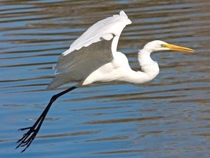 All About Birds Great Egret >> Great Egret Alchetron The Free Social Encyclopedia