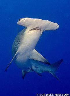 Great hammerhead Great Hammerhead Sharks Sphyrna mokarran MarineBioorg