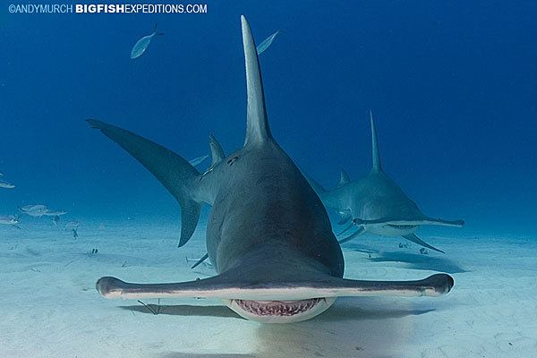Great hammerhead Great Hammerhead Shark Diving in Bimini Island A Big Fish