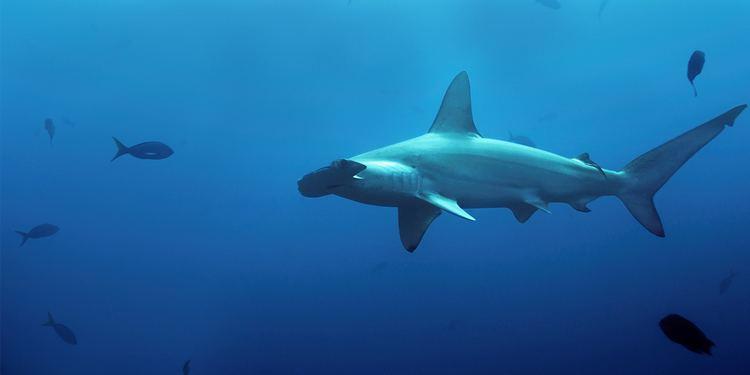 Great hammerhead Great Hammerhead Sharkopedia