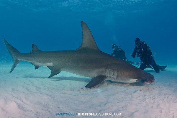 Great hammerhead Diving with Great Hammerheads at Bimini Island in the Bahamas Swim