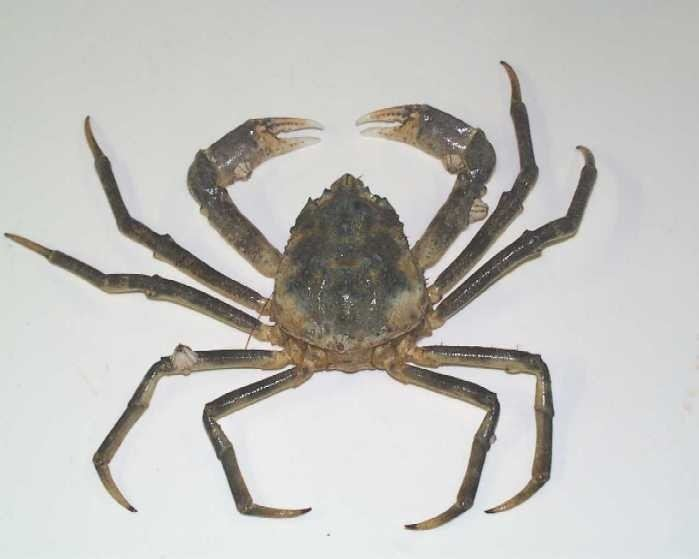 Great spider crab WoRMS Photogallery
