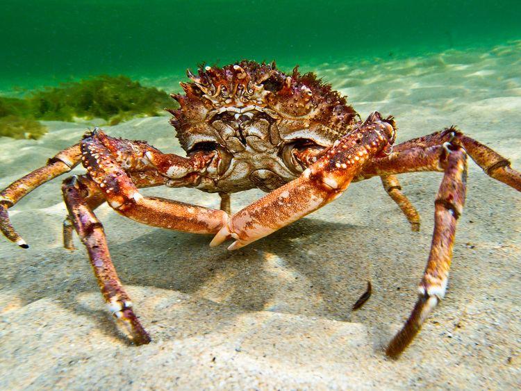 Great spider crab Spider crab Hyas araneus Mrten Hansson Flickr