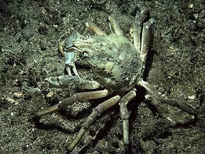 Great spider crab Hyas araneus Marine Life Encyclopedia