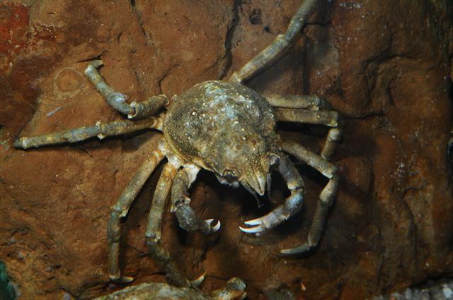 Great spider crab Great spider crab Hyas araneus Biopix photoimage 75872