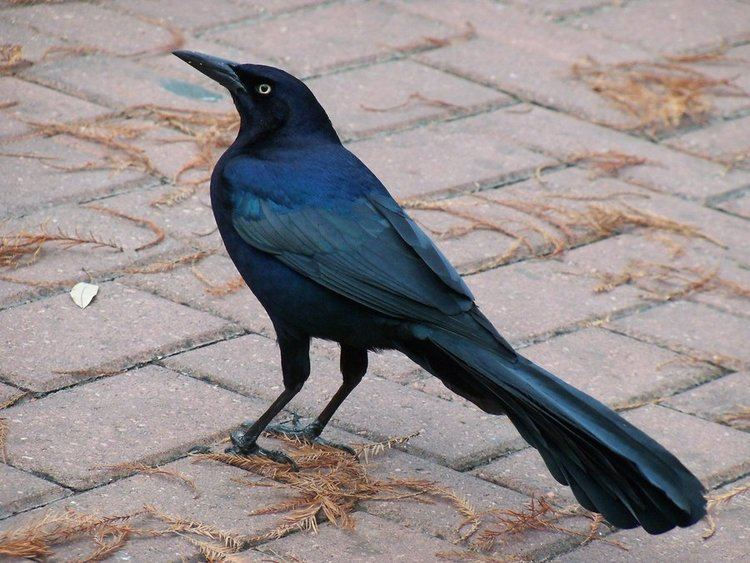 Great-tailed grackle Great Tailed Grackle Quiscalus Major Symbolic Meaning Whispers