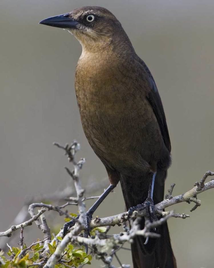 Great-tailed grackle Greattailed Grackle Audubon Field Guide