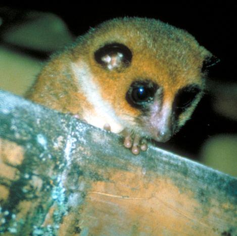 Greater dwarf lemur Primate Factsheets Image Greater dwarf lemur Cheirogaleus major