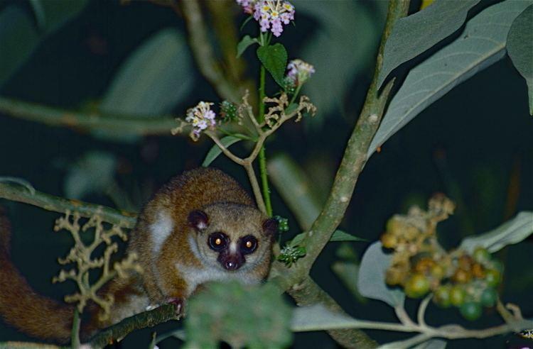 Greater dwarf lemur httpsuploadwikimediaorgwikipediacommonsff