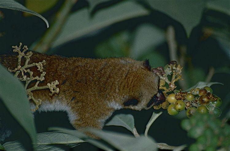 Greater dwarf lemur FileGreater Dwarf Lemur Cheirogaleus major 9643033765jpg
