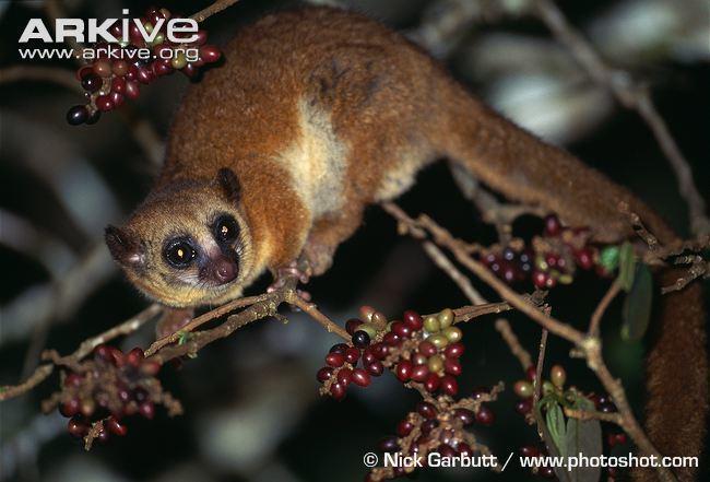 Greater dwarf lemur Geoffroy39s dwarf lemur videos photos and facts Cheirogaleus major