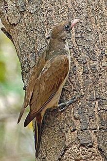 Greater honeyguide httpsuploadwikimediaorgwikipediacommonsthu