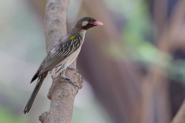 Greater honeyguide Greater Honeyguide Indicator indicator videos photos and sound
