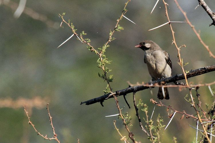 Greater honeyguide Greater Honeyguide Bird amp Wildlife Photography by Richard and