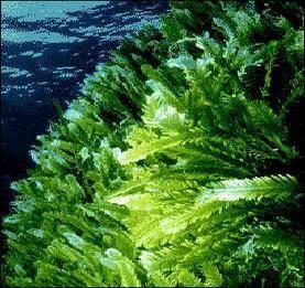 Green algae DoralBio5 Red Brown amp Green Algae