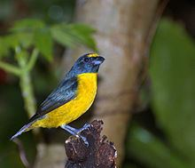 Green-chinned euphonia httpsuploadwikimediaorgwikipediacommonsthu