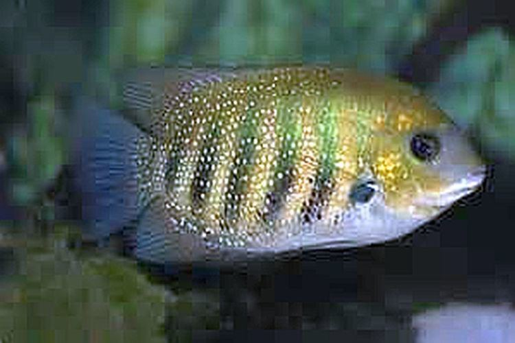 Green chromide Green Chromide Etroplus suratensis Tropical Fish Keeping