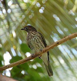 Green figbird httpsuploadwikimediaorgwikipediacommonsthu