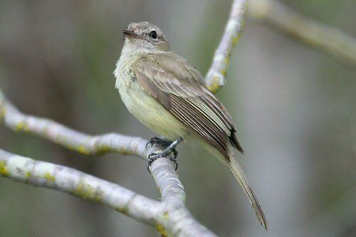 Greenish elaenia Mangoverde World Bird Guide Photo Page Greenish Elaenia Myiopagis