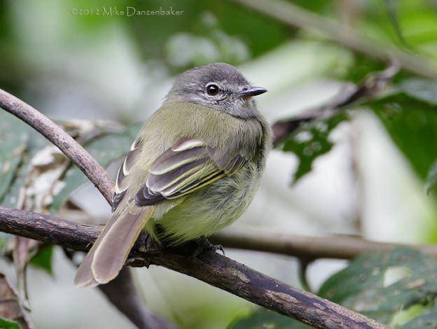 Greenish elaenia avesphotocomwebsitepicturesELAGRN3jpg
