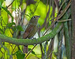 Greenish schiffornis httpsuploadwikimediaorgwikipediacommonsthu