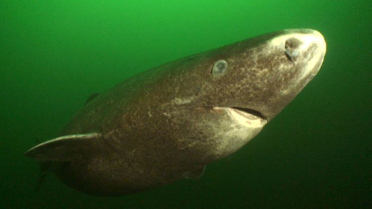 Greenland shark 8 Facts About the Greenland Shark