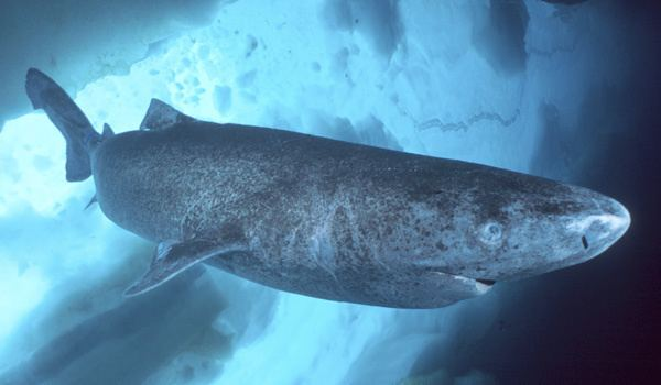 Greenland shark At Almost 400 Greenland Shark Likely Oldest Vertebrate In The Sea