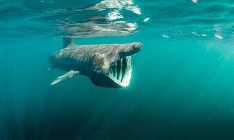 Greenland shark 400yearold Greenland shark is oldest vertebrate animal