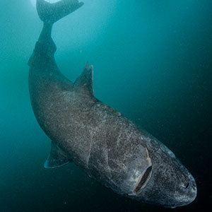 Greenland shark sharkopediadiscoverycomwpcontentuploads2015