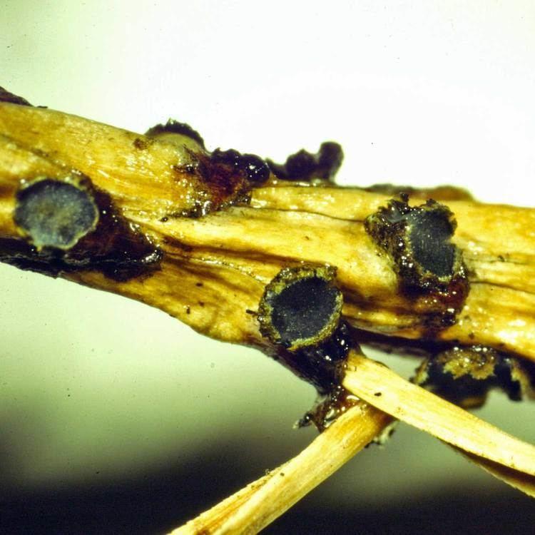 Gremmeniella fungimyspeciesinfositesfungimyspeciesinfofi