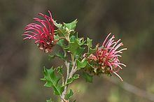 Grevillea aquifolium httpsuploadwikimediaorgwikipediacommonsthu