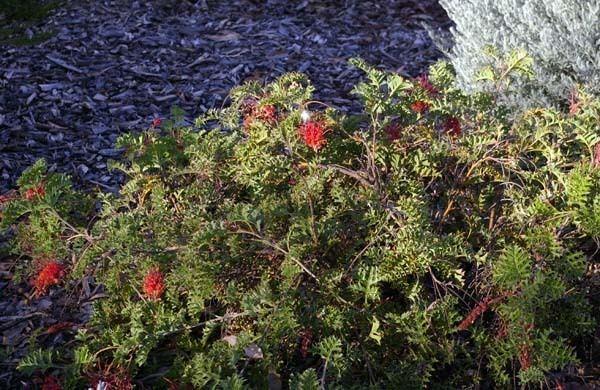 Grevillea bipinnatifida Grevillea bipinnatifida Fuchsia Grevillea